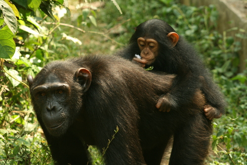 mum chimp and baby