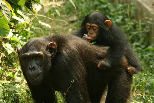 mum chimp and baby
